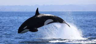 killer whales footer